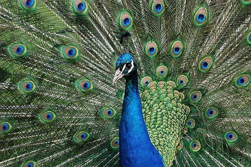 corteggiamento del pavone