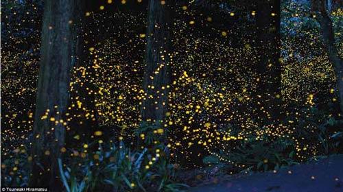 corteggiamento delle lucciole